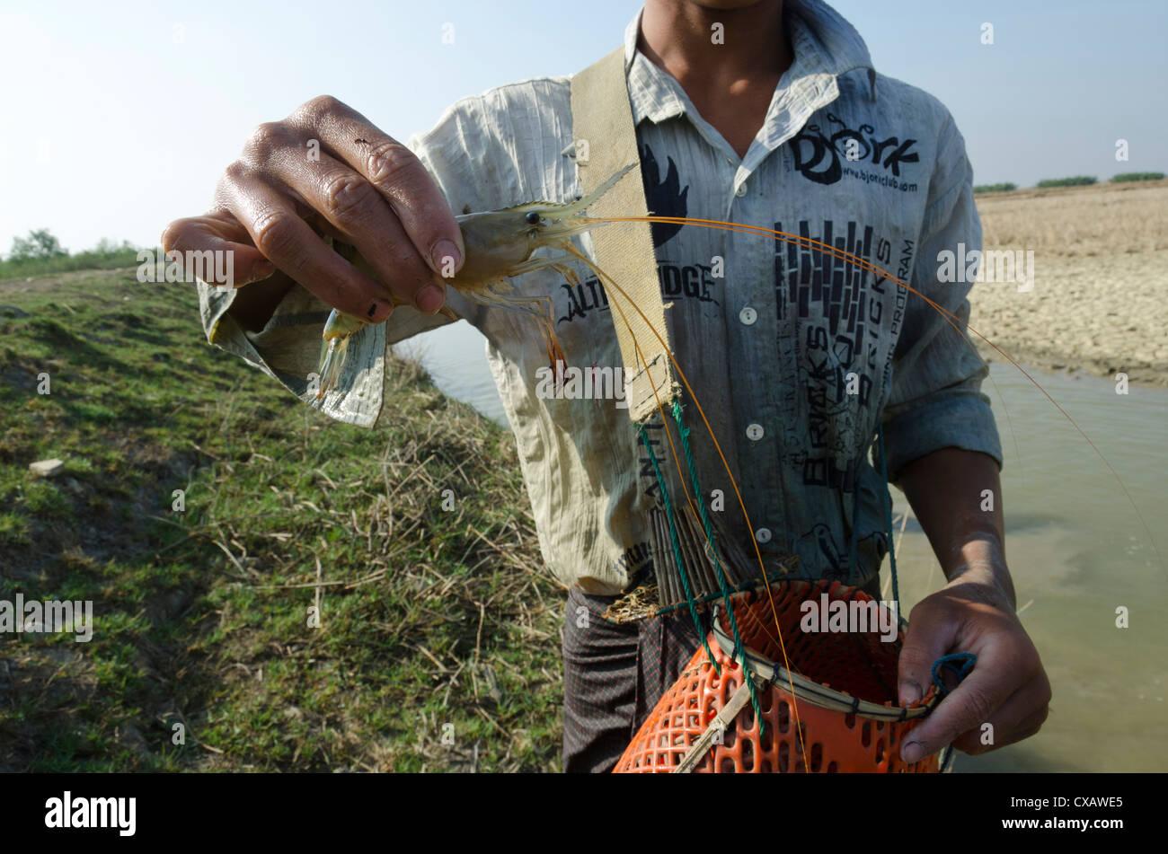 Grosses crevettes à partir de la voie navigable dans le delta de l'Irrawaddy, le Myanmar (Birmanie), l'Asie Photo Stock