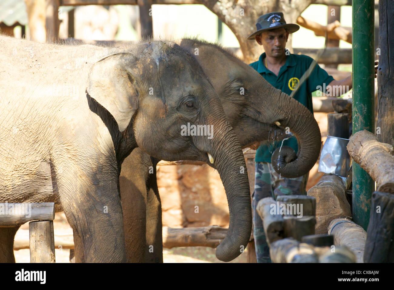 Bébé éléphant d'Asie, l'éléphant d'Uda Walawe Accueil de transit, au Sri Lanka, en Asie Banque D'Images