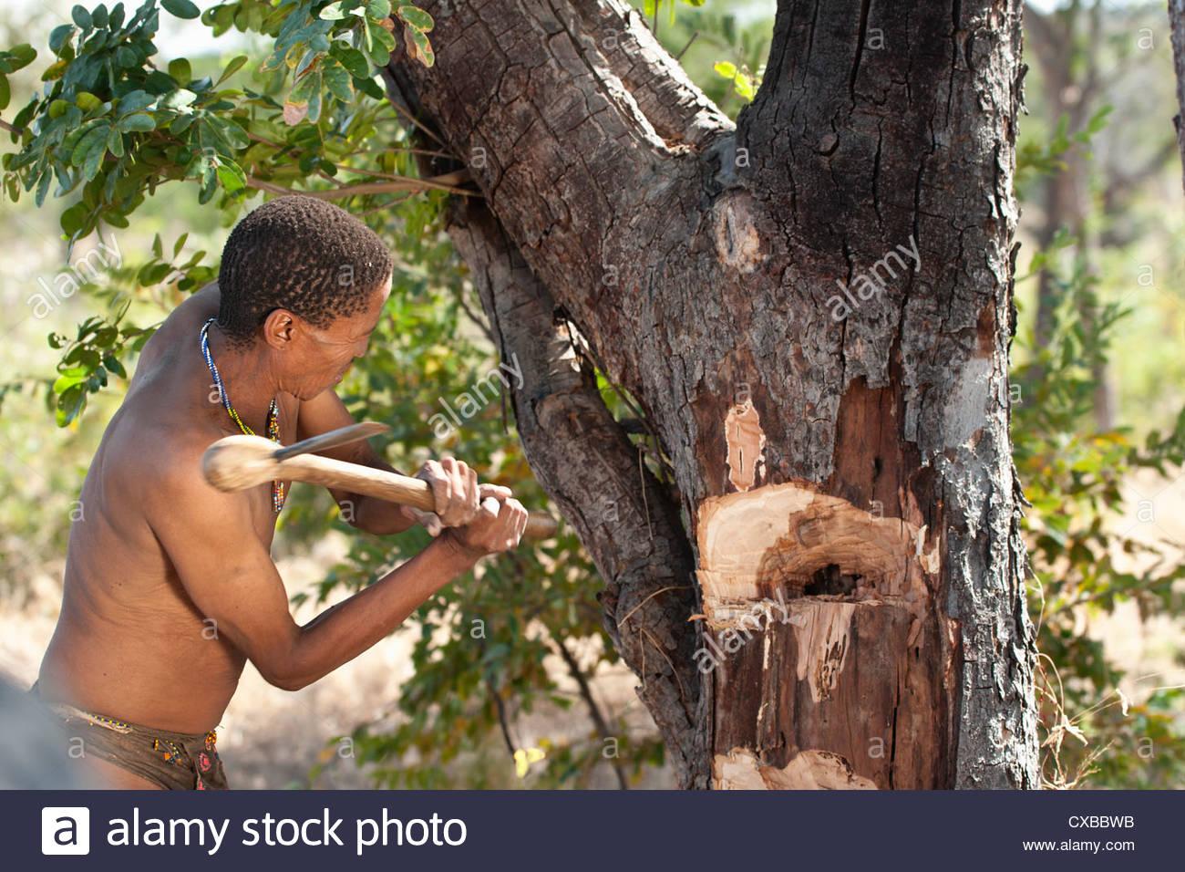 Jul'hoan!Kung Bushmen suppression des trous dans un arbre pour accéder à une ruche, Bushmanland, Photo Stock