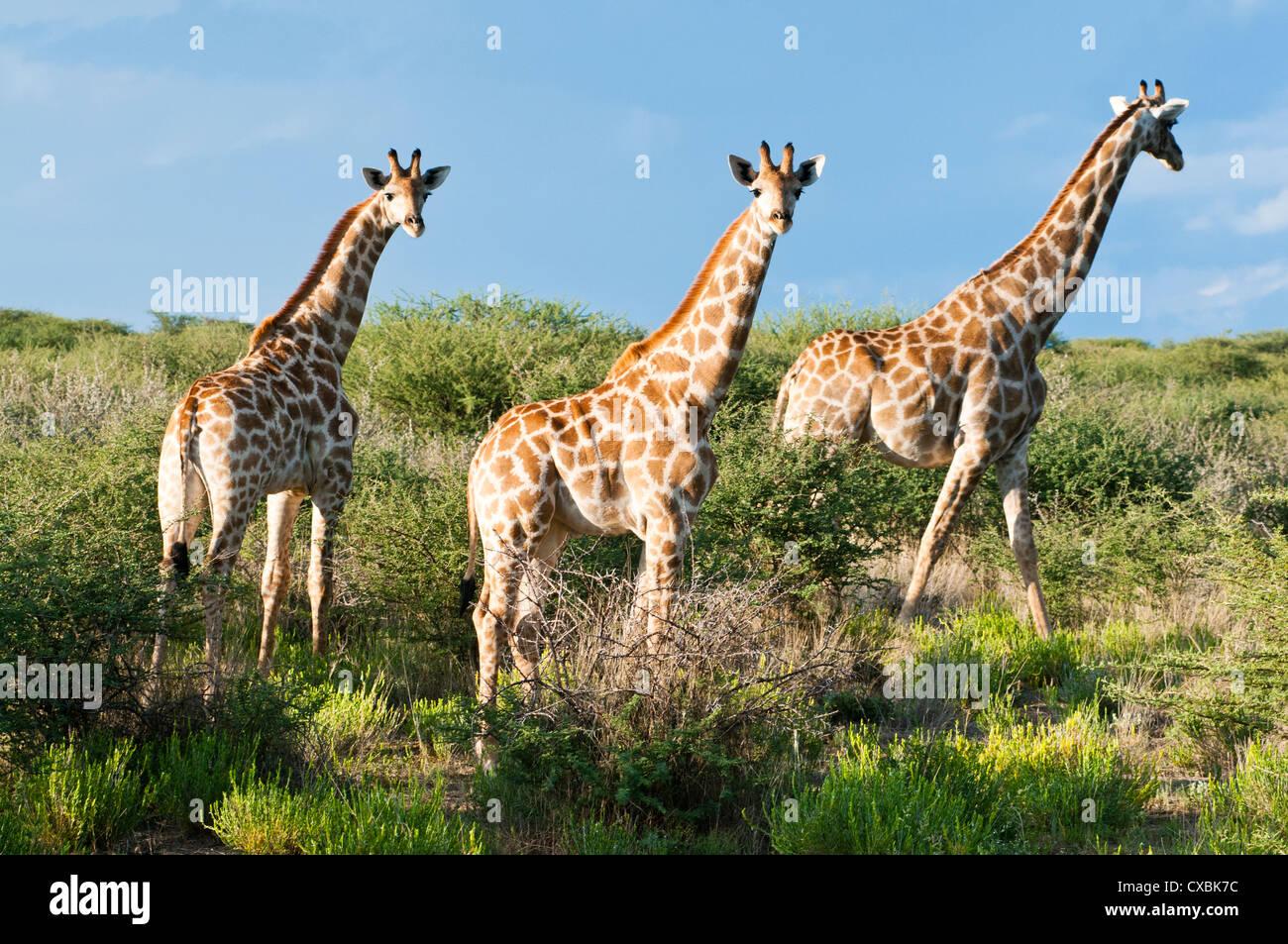 Girafe (Giraffa camelopardalis), Namibie, Afrique Photo Stock