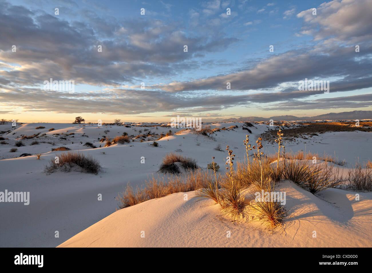 La première lumière sur un cluster de yucca parmi les dunes, White Sands National Monument, Nouveau-Mexique, Photo Stock