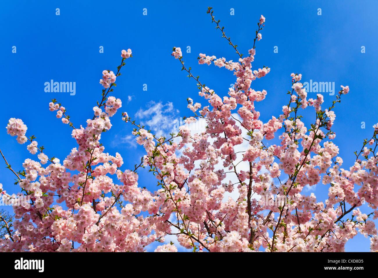 Printemps Les fleurs de cerisier (rose) et le fond bleu Banque D'Images
