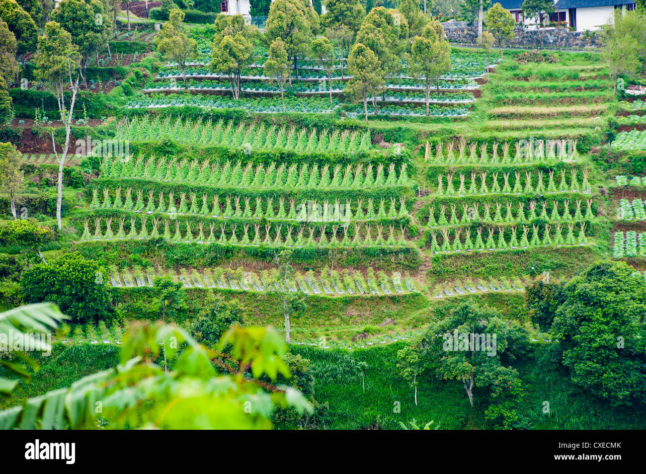 Terrasses de légumes sur une colline raide, Bandung, Java, Indonésie, Asie du Sud, Asie Photo Stock