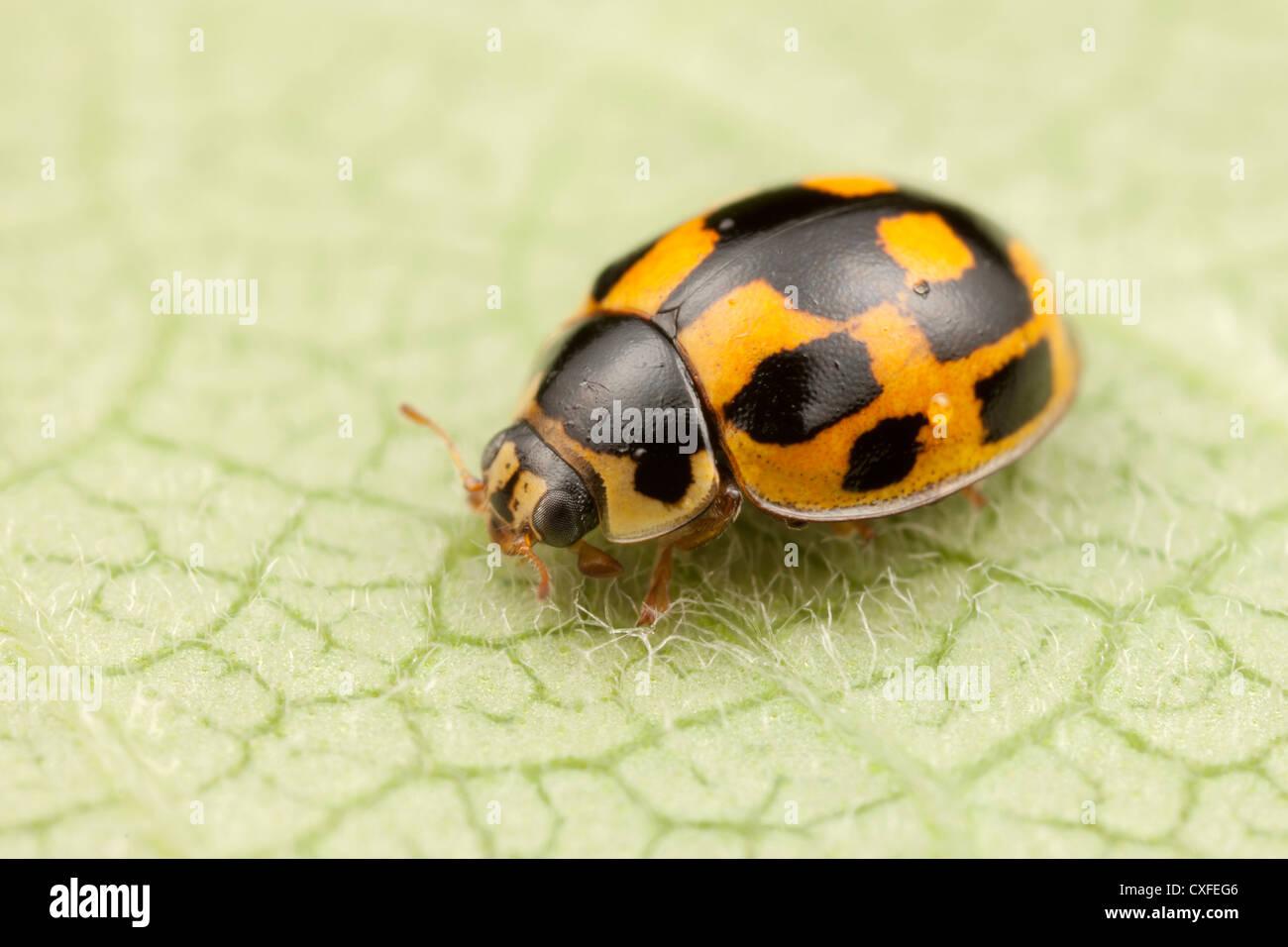 Quatorze points Propylea quatuordecimpunctata (Coccinelle) - Femmes Photo Stock