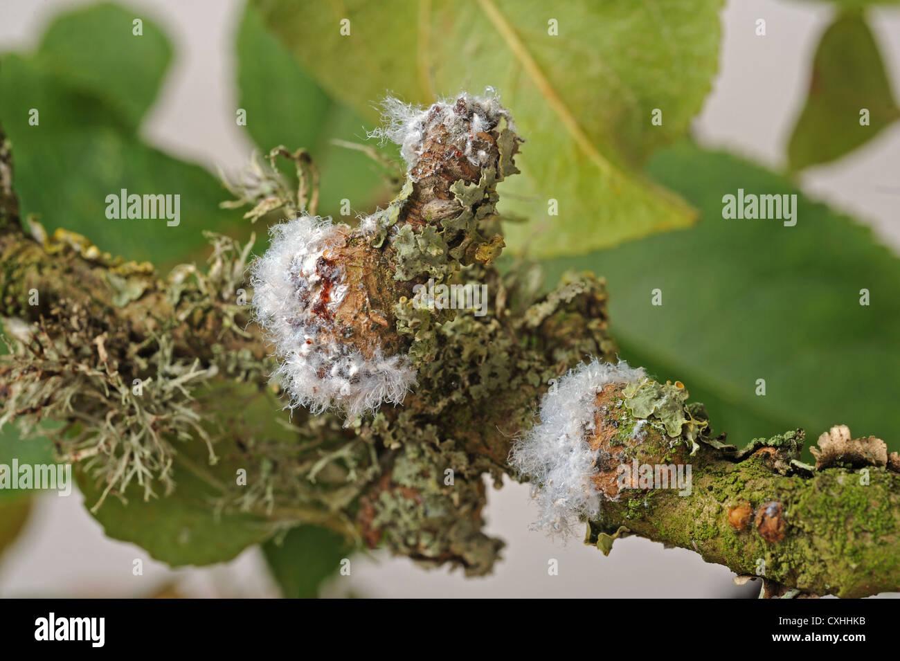 Puceron lanigère Eriosoma lanigerum colony et cicatrices avec extrusions cireux et les pucerons sur bois apple Photo Stock