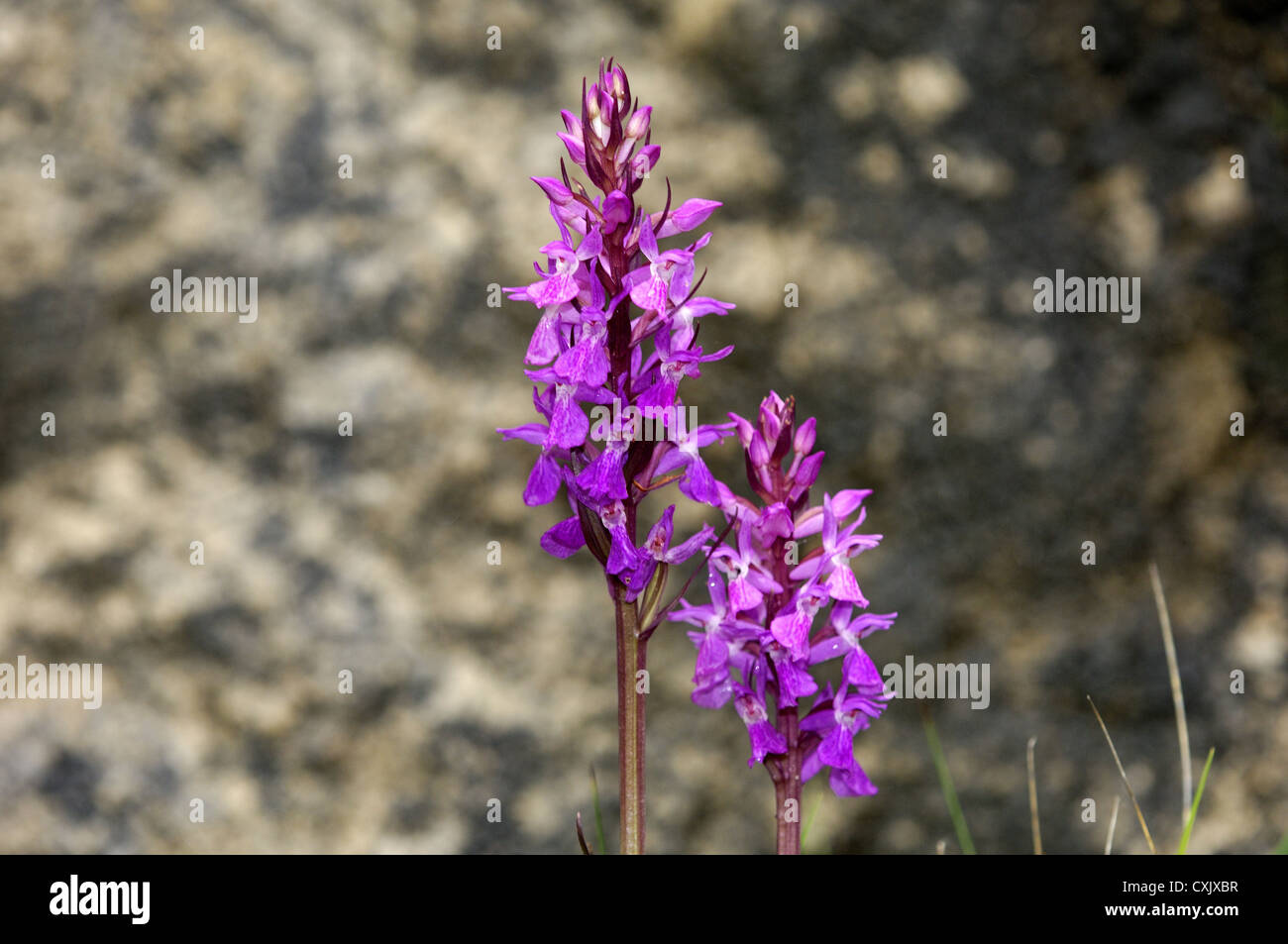Marsh Orchid robuste Photo Stock