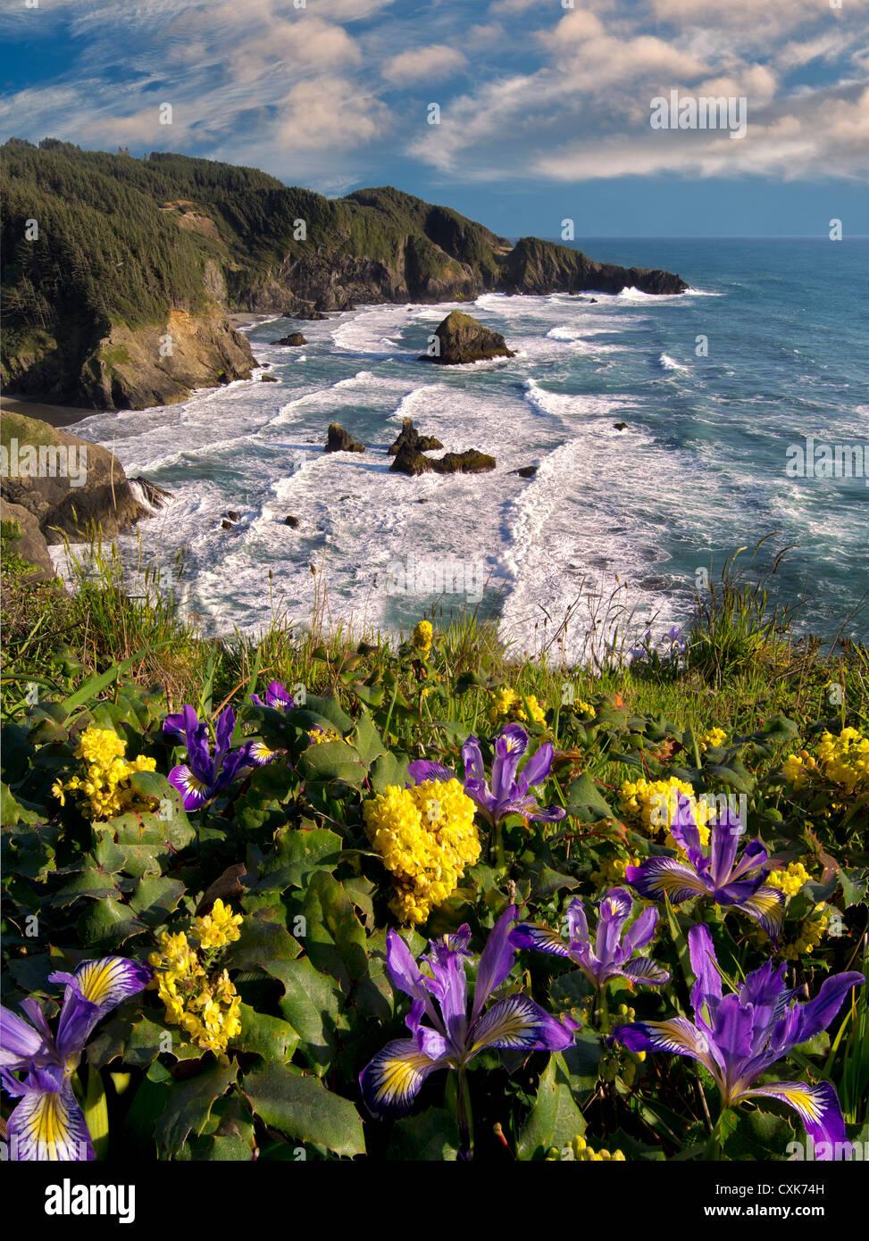 Iris sauvages et de l'Oregon la viticulture sur falaise dominant Samuel H. Boardman State Scenic Corridor. Oregon Banque D'Images