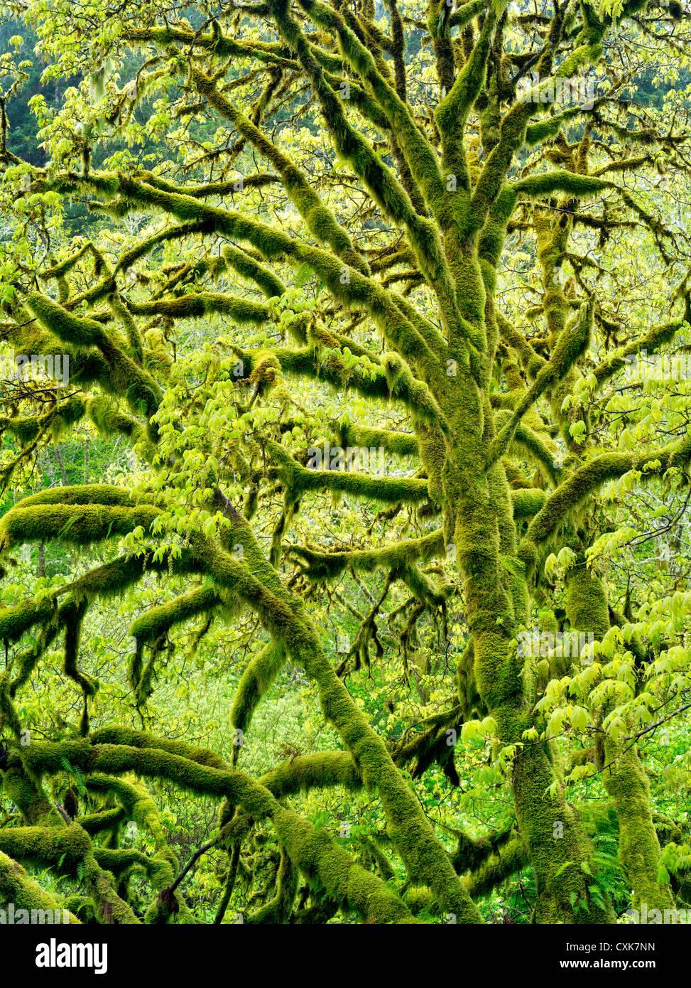 L'Érable grandifolié érable avec Moss et la nouvelle croissance. Gamme côtière de l'Oregon. Photo Stock