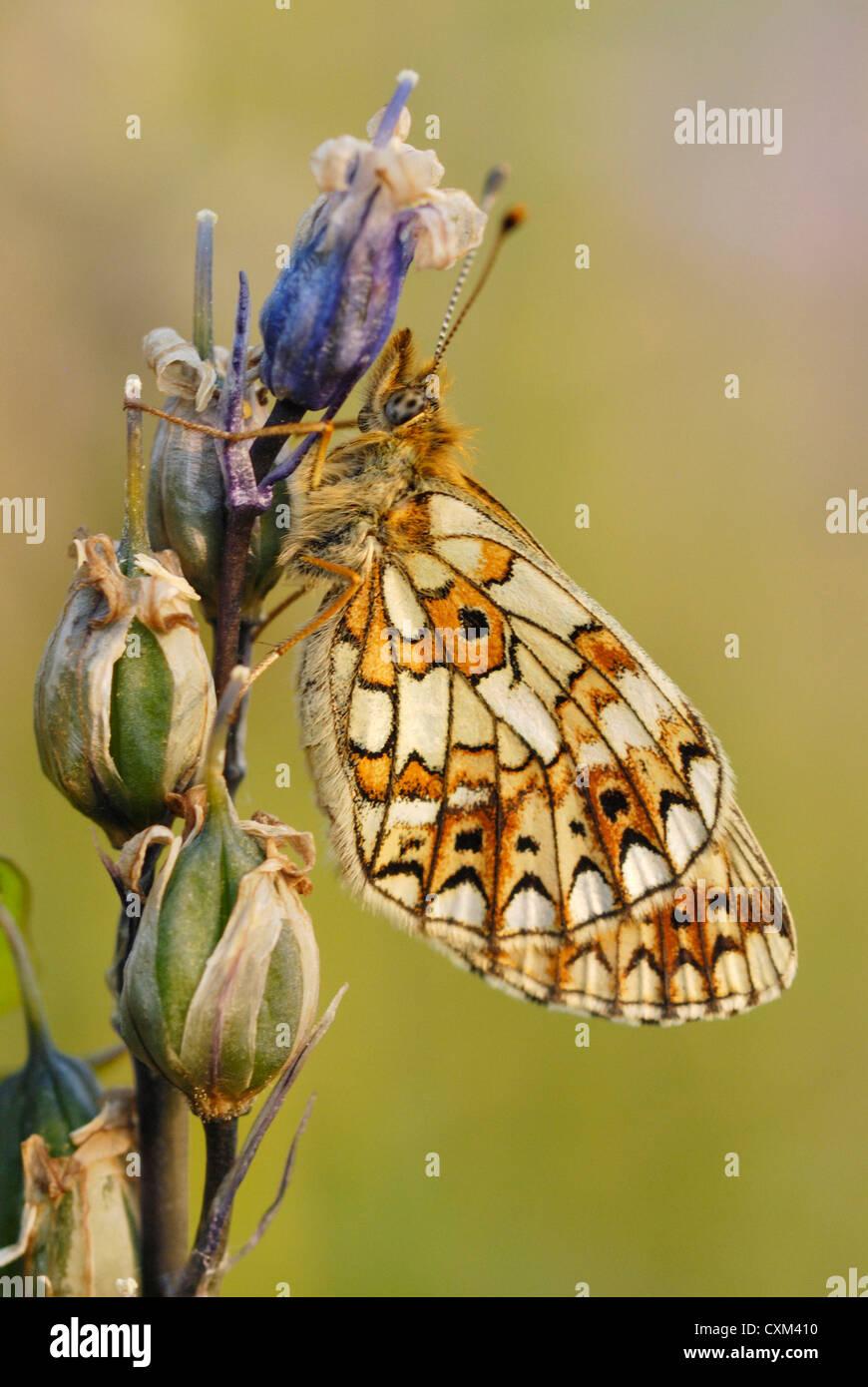 Petite perle-bordé fritillary (Boloria selene) sur une tête de semences bluebell Photo Stock