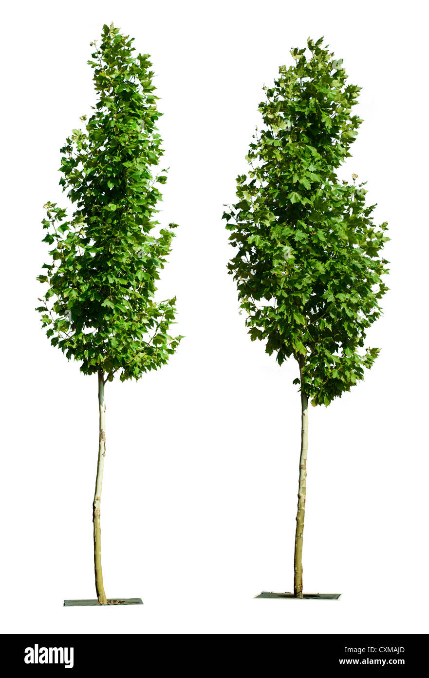 arbres vert isolé sur blanc. l'arbre vert décoratif banque d'images