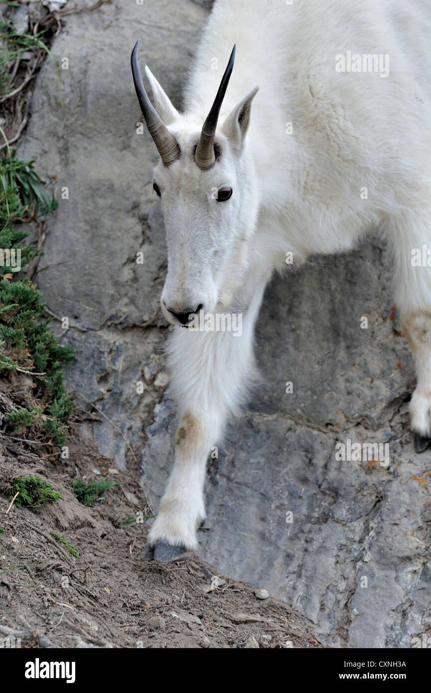 Une chèvre de montagne en descendant de un rocher abrupt du côté de la montagne. Photo Stock