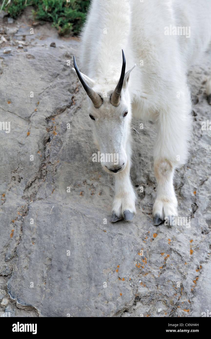 Une chèvre de montagne blanche voyageant sur une pente escarpée falaise de roche. Photo Stock