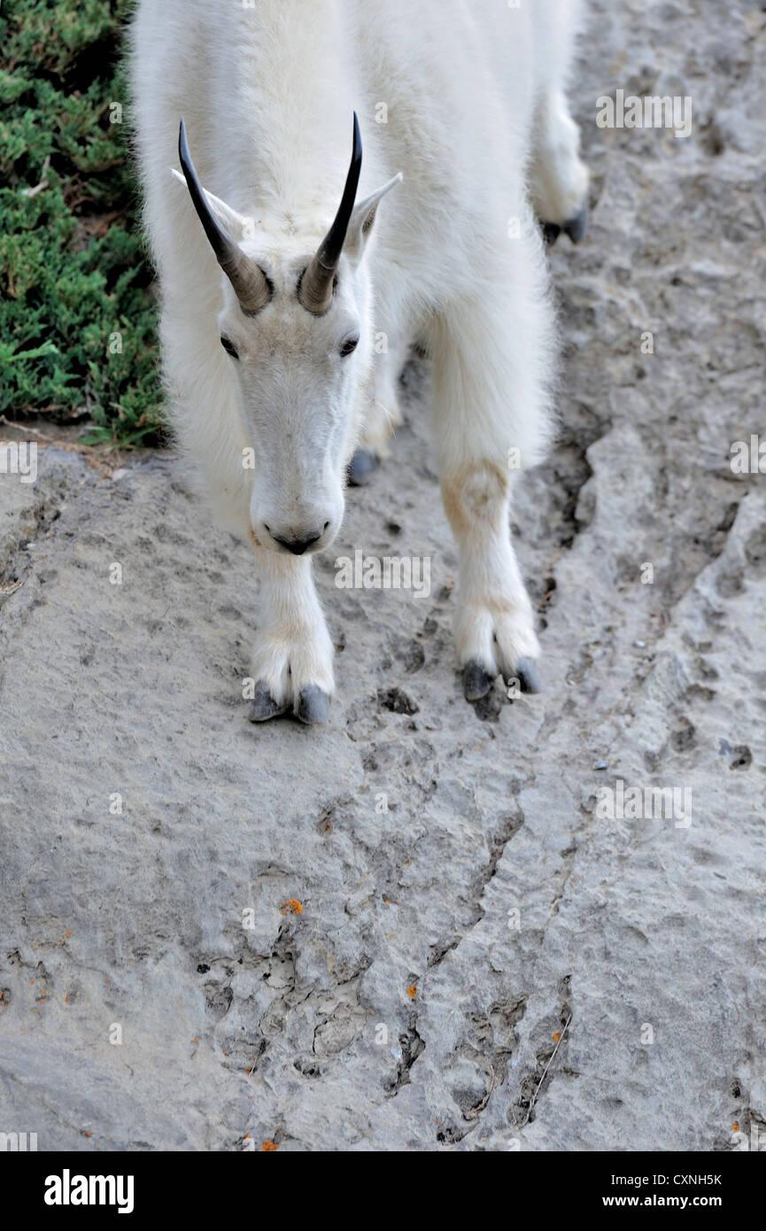 Une chèvre de montagne blanche voyageant vers le bas l'un des rochers falaise. Photo Stock