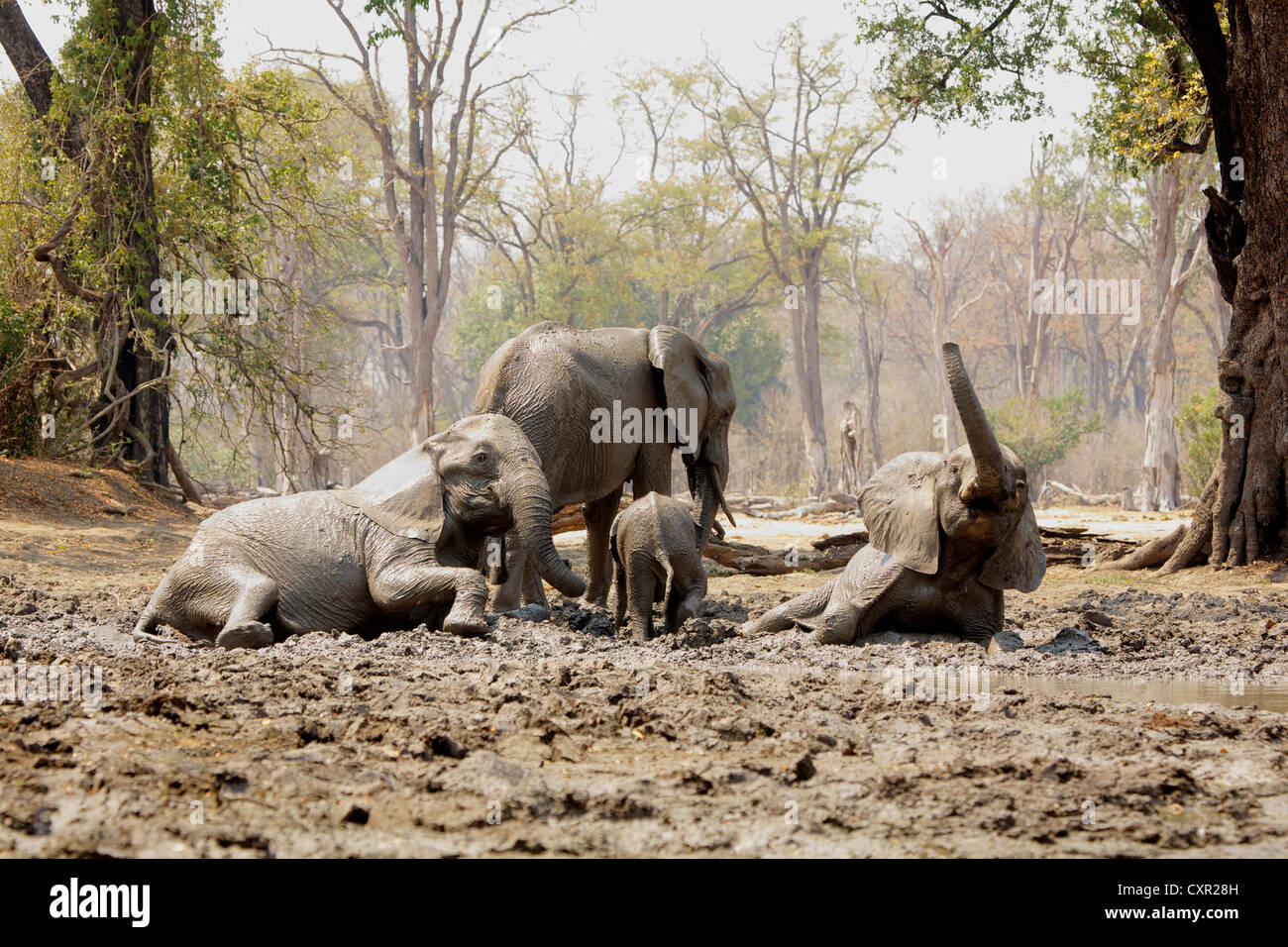 Les éléphants se baigner dans la boue, Mana Pools, Zimbabwe Photo Stock