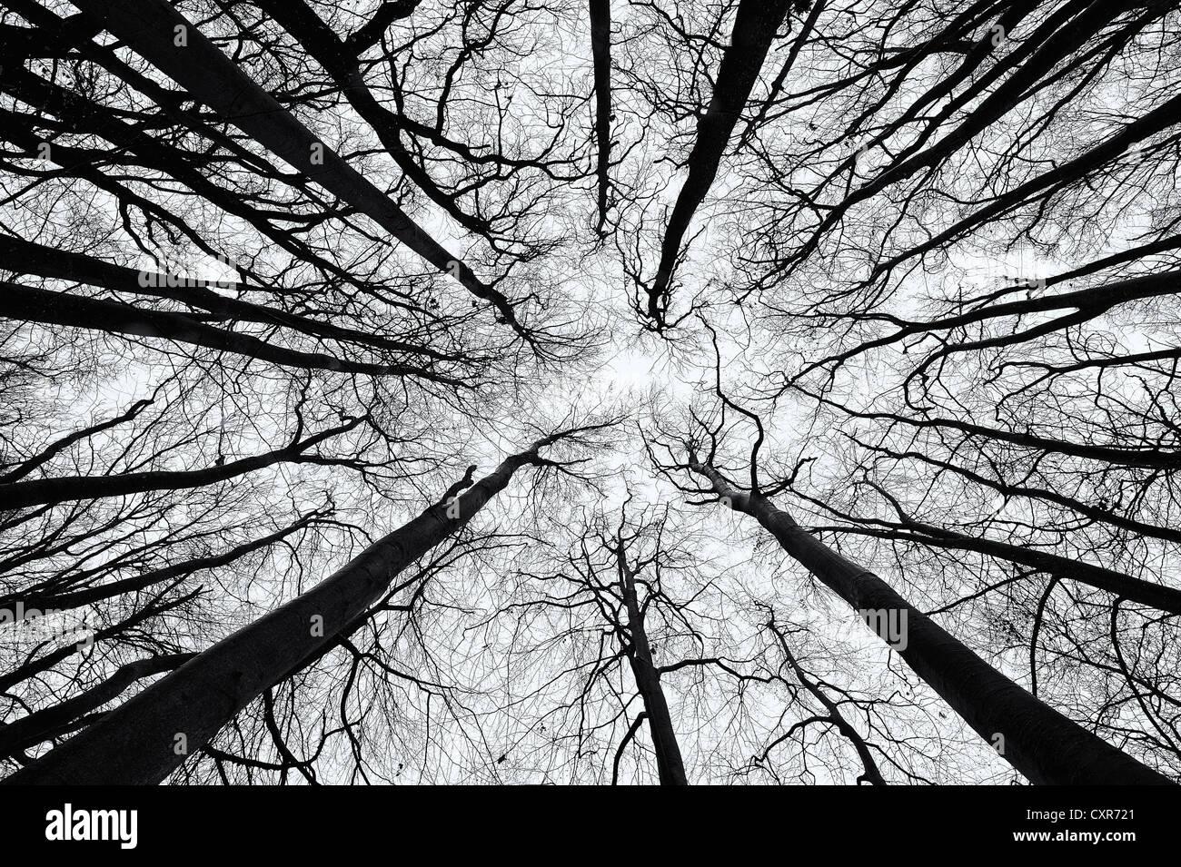 Hêtre (Fagus) d'en bas en noir et blanc, Mindelheim, Unterallgaeu, souabe, Bavière, Allemagne, Europe Photo Stock