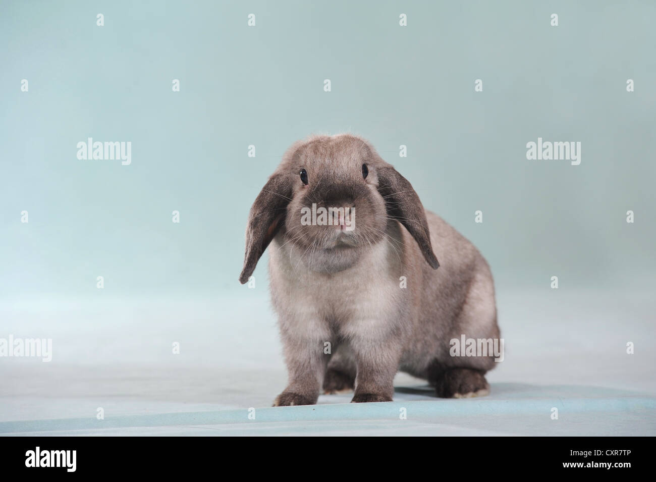 Long eared lapin gris Photo Stock