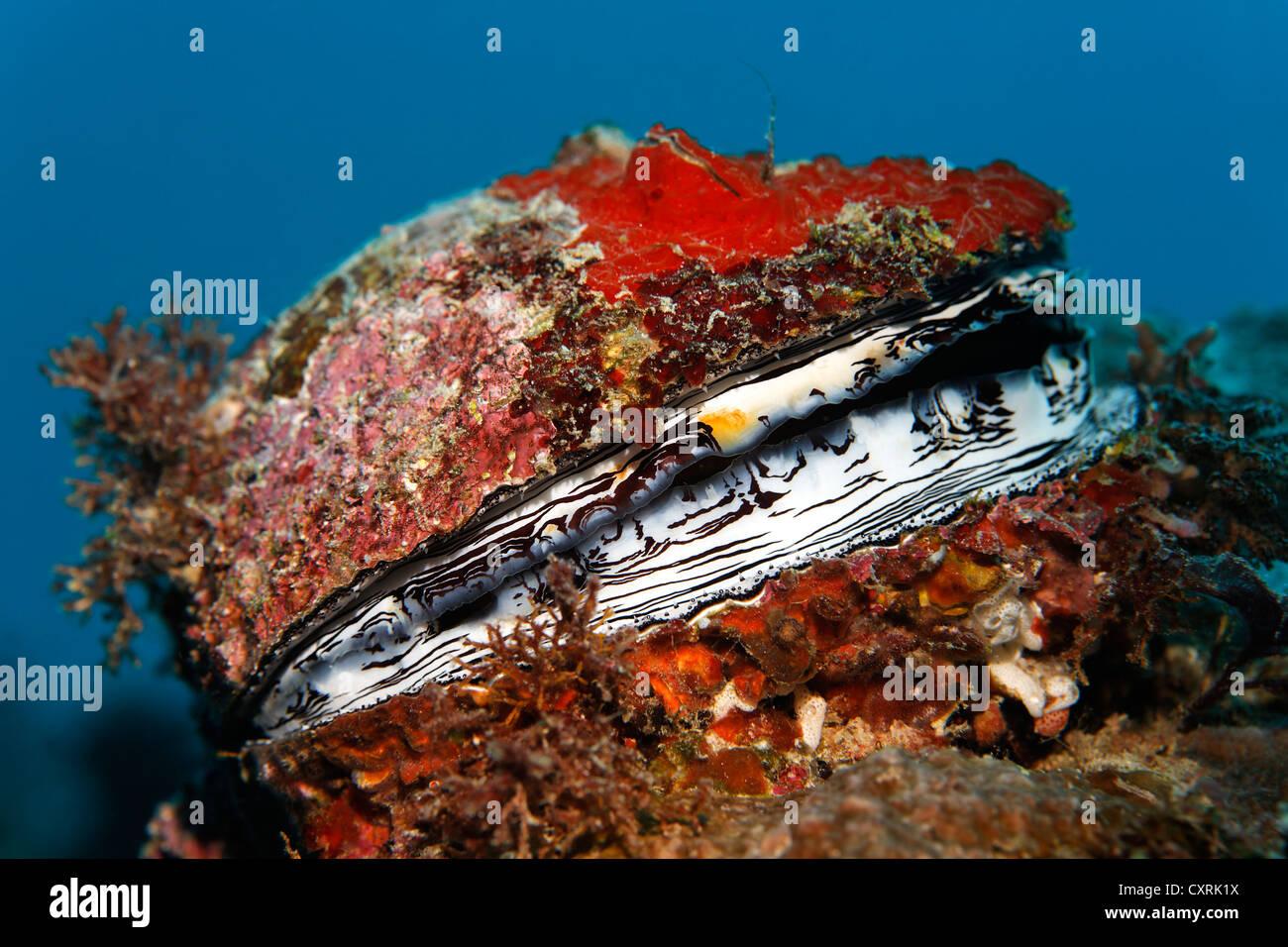 Huître épineuse (Spondylus varius), shell, Grande Barrière de Corail, site du patrimoine mondial Photo Stock