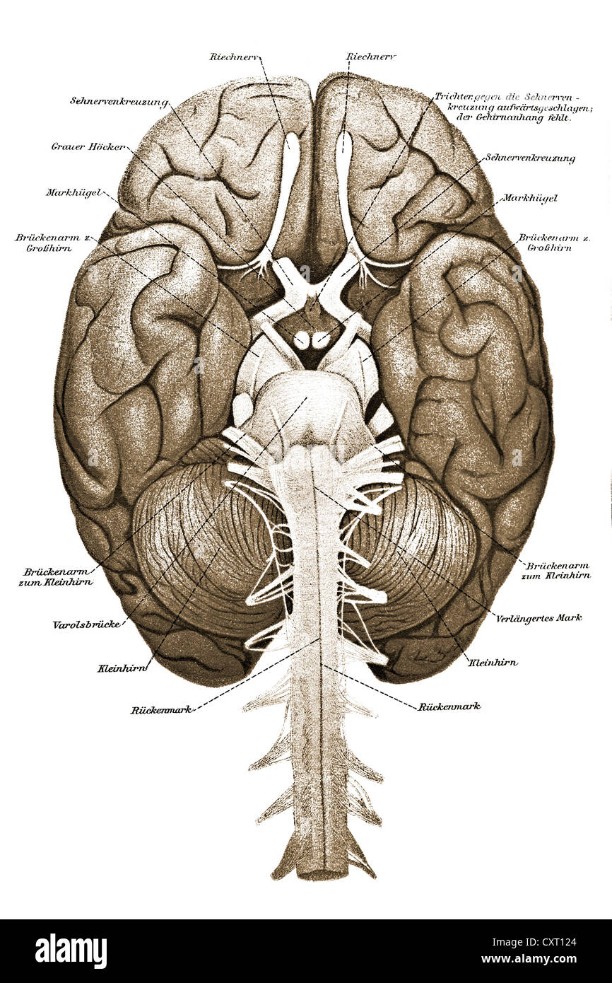 Cerveau humain, illustration anatomique Photo Stock