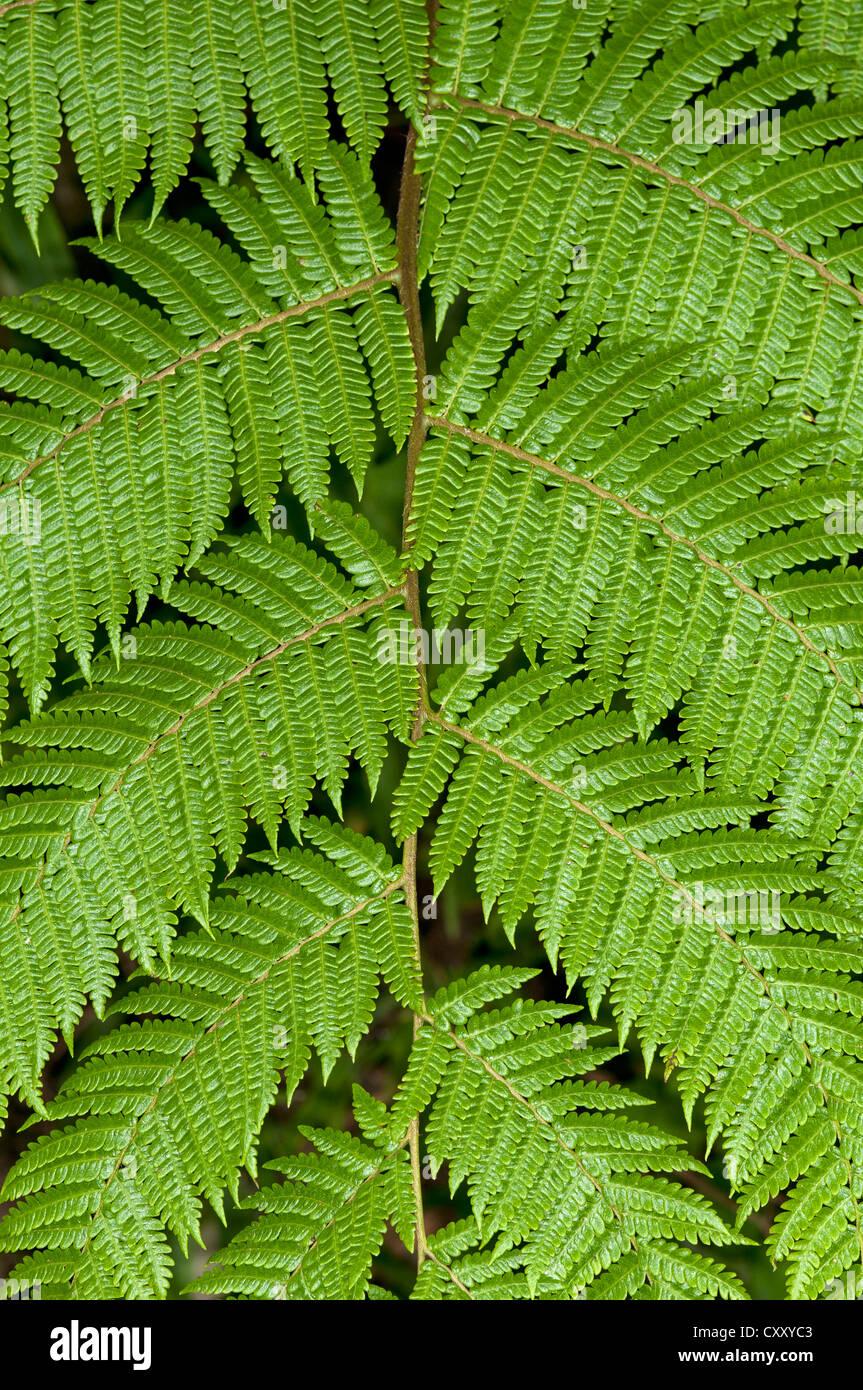 Symétrie d'un frond, Tandayapa, région de forêt Andine, l'Équateur, en Amérique Photo Stock