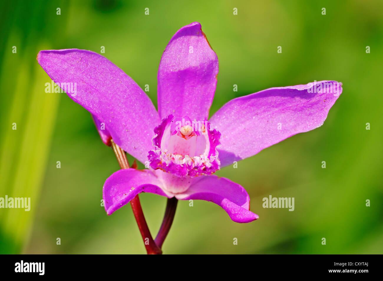 Bletilla Photos & Bletilla Images - Alamy
