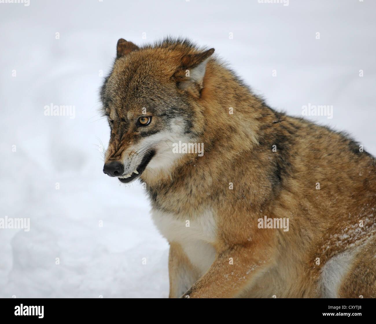 Wolf (Canis lupus) découvrant ses dents, dans la neige, la faune de l'enceinte du Parc National de la Forêt Photo Stock