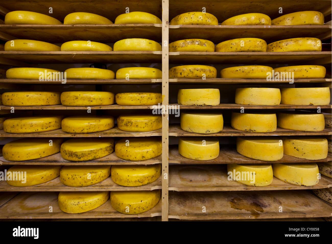 Artisan régionaux fromages roue vieillissement sur étagères en fromagerie, Belgique Photo Stock