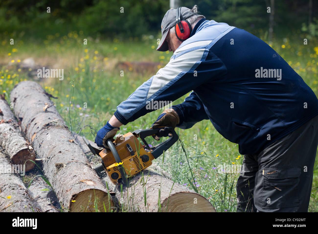 La coupe d'un pensionné epicéa log avec tronçonneuse , Finlande Banque D'Images