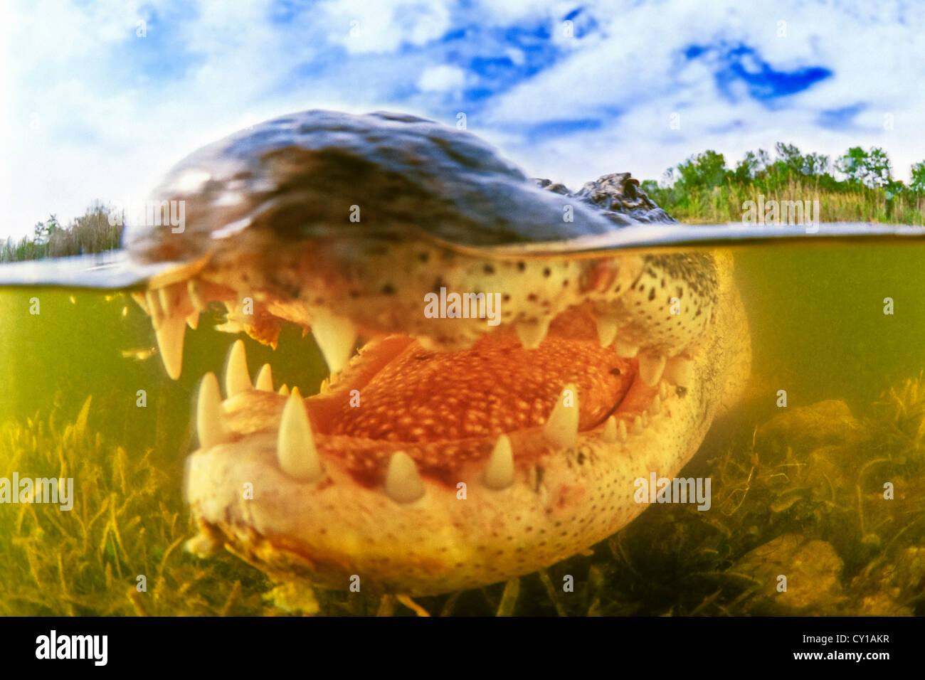Alligator mississippiensis, Alligator, le Parc National des Everglades, Florida, USA Photo Stock