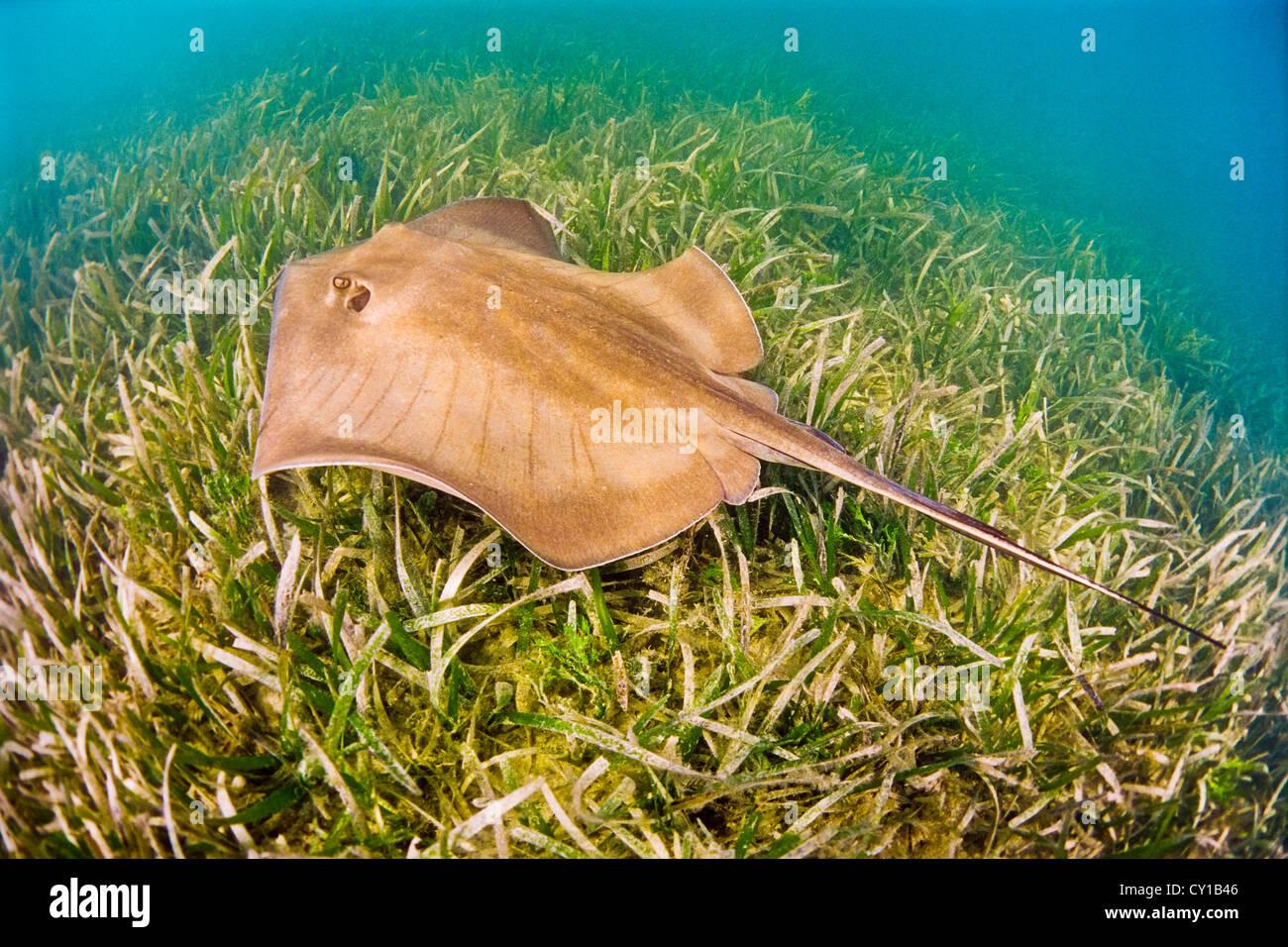 Le sud de pastenague Dasyatis americana, Biscayne Bay, Florida, USA Photo Stock