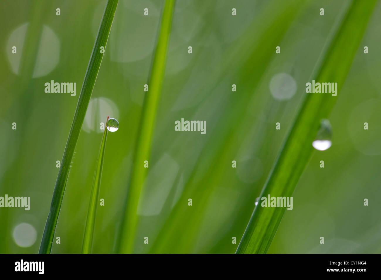 Close up de rosée sur les brins d'herbe dans le pré en début de matinée Banque D'Images
