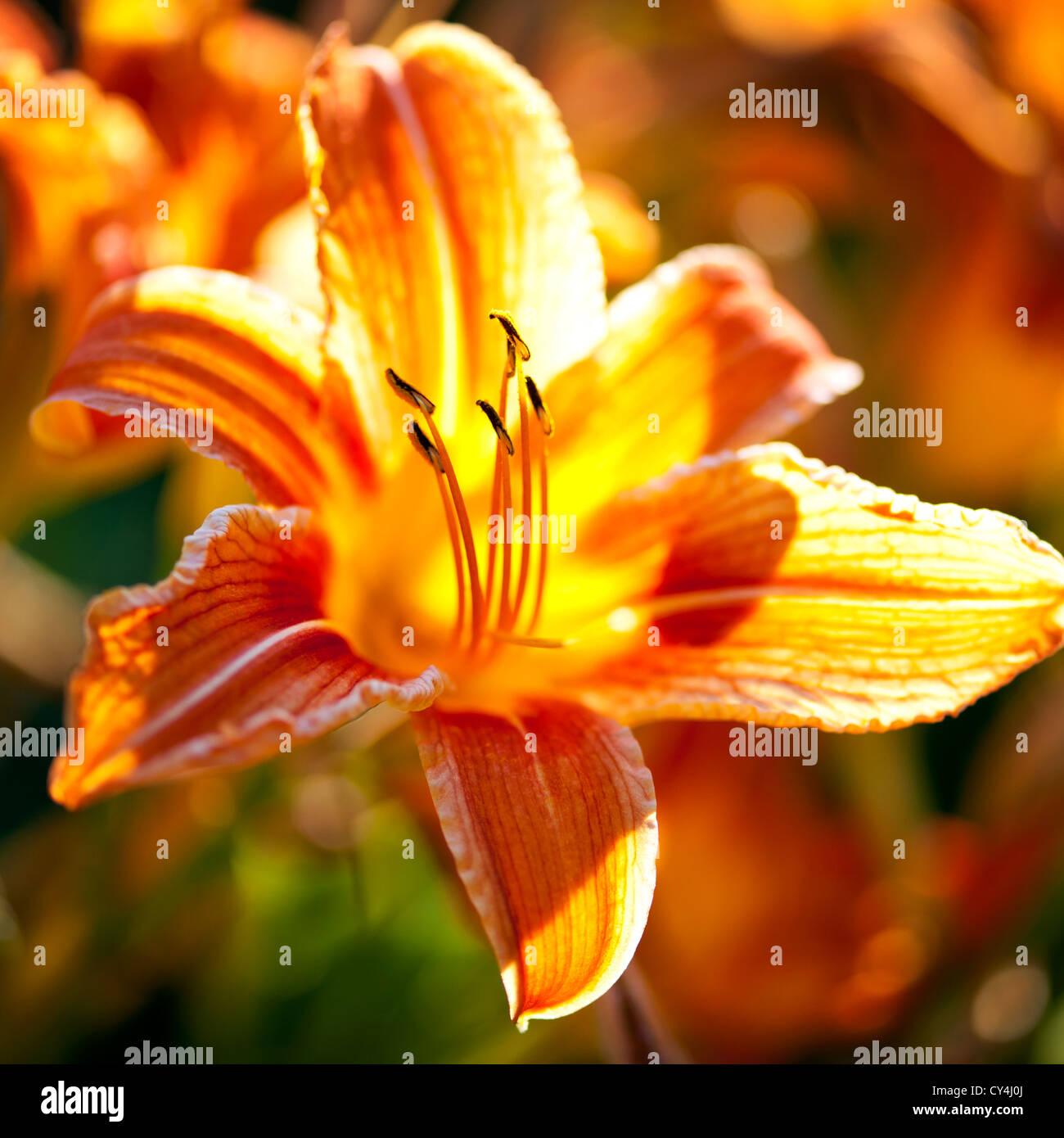 Belles fleurs orange tiger lily foisonnent dans jardin Photo Stock