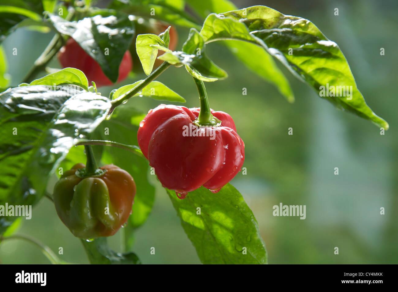 Fiery très frileux Scotch Bonnet 'poivrons Capsicum Chinensis' encore en croissance et de la maturation Photo Stock