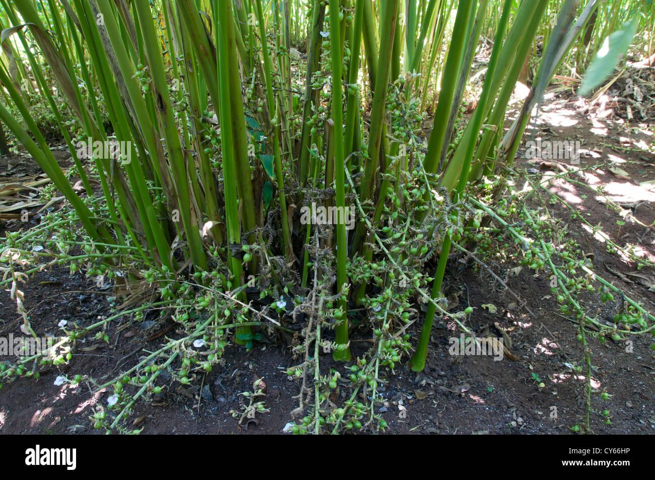 L'agriculture de cardamome, Cochin Kerala Inde Photo Stock