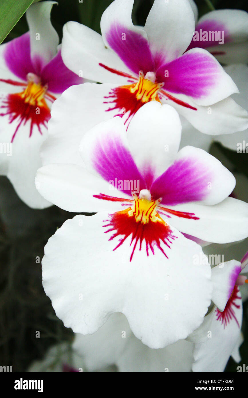 Orchidee Blanche Rose Fleurs Tropicales Banque D Images Photo Stock
