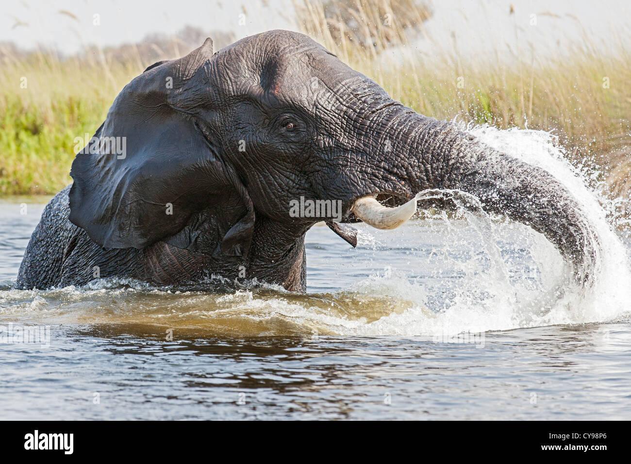 Close-up of an African elephant (Loxodonta africana) jouant dans les canaux d'eau du delta de l'Okavango Banque D'Images