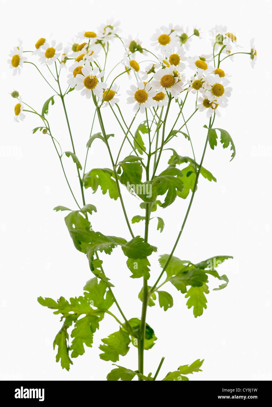 Tanacetum Parthenium Grande Camomille Fleurs Jaune Sur Vert Tiges