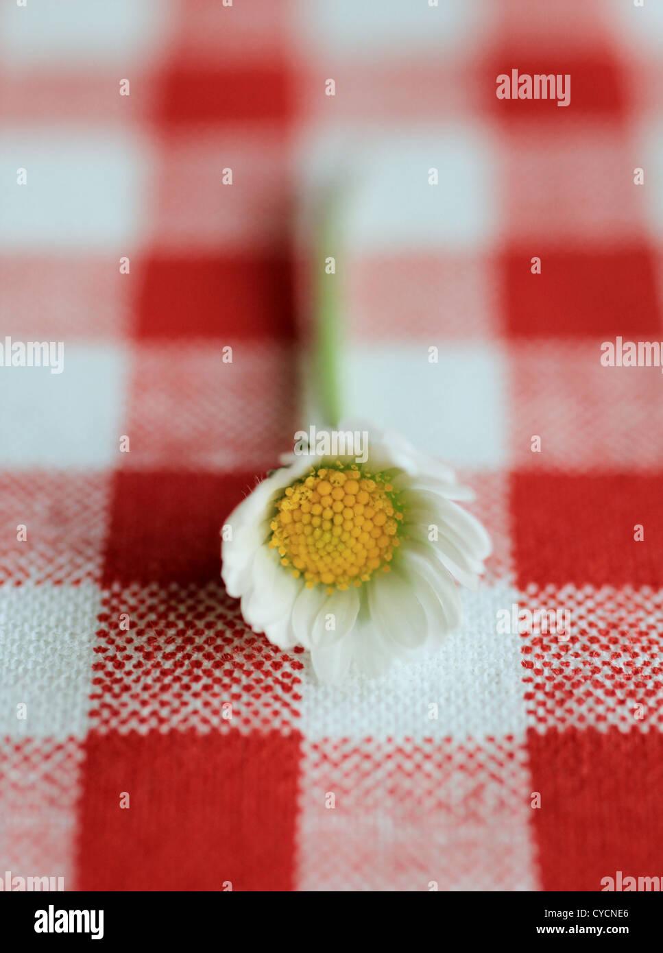 Daisy Photo Stock