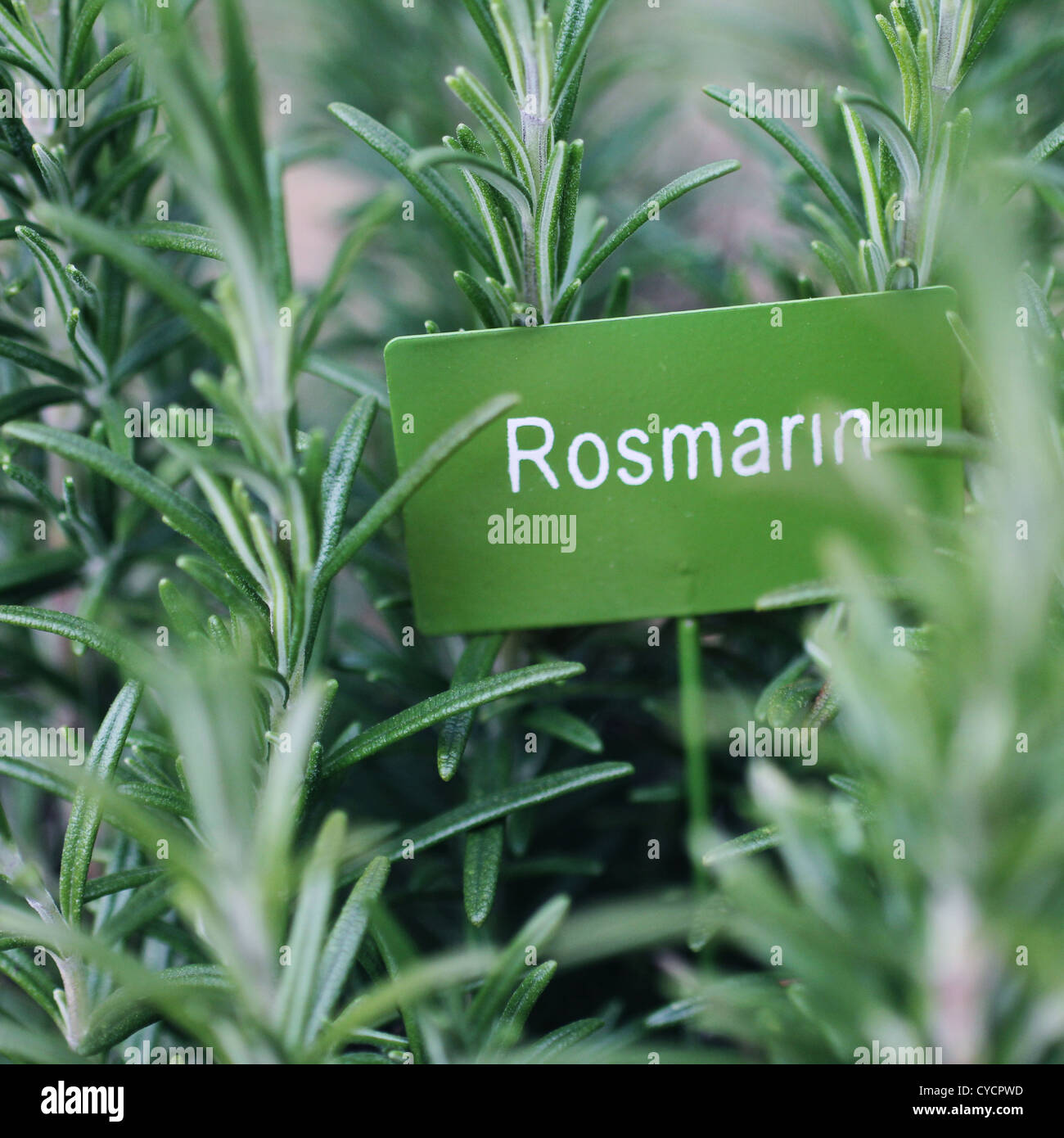 Herbes culinaires,romarin,jardin de fines herbes Banque D'Images