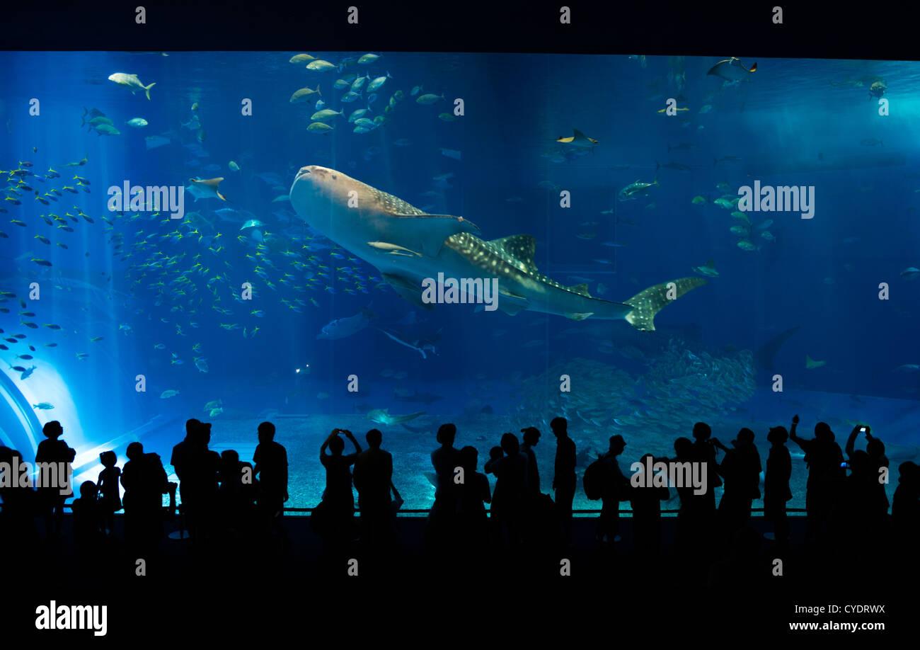 Requin-baleine au Japon Okinawa Churaumi Aquarium Photo Stock