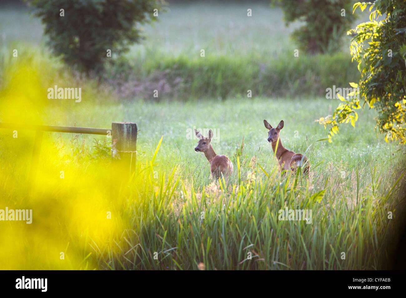 Les Pays-Bas, 's-Graveland, Couple de re, dans la région appelée domaine Spanderswoud. Photo Stock