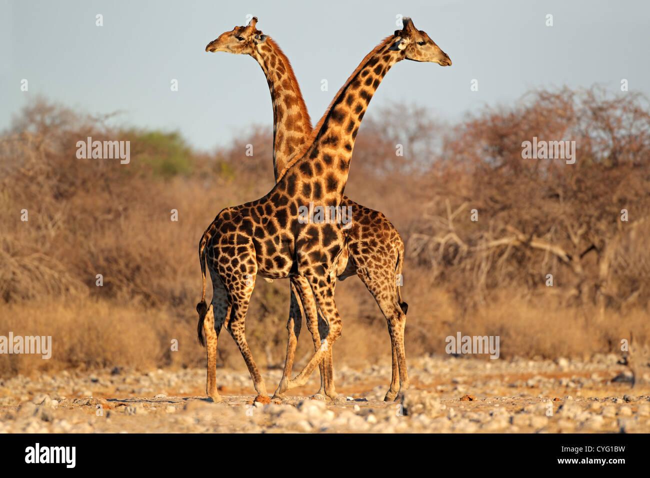 Deux taureaux Girafe (Giraffa camelopardalis), Etosha National Park, Namibie, Afrique du Sud Banque D'Images