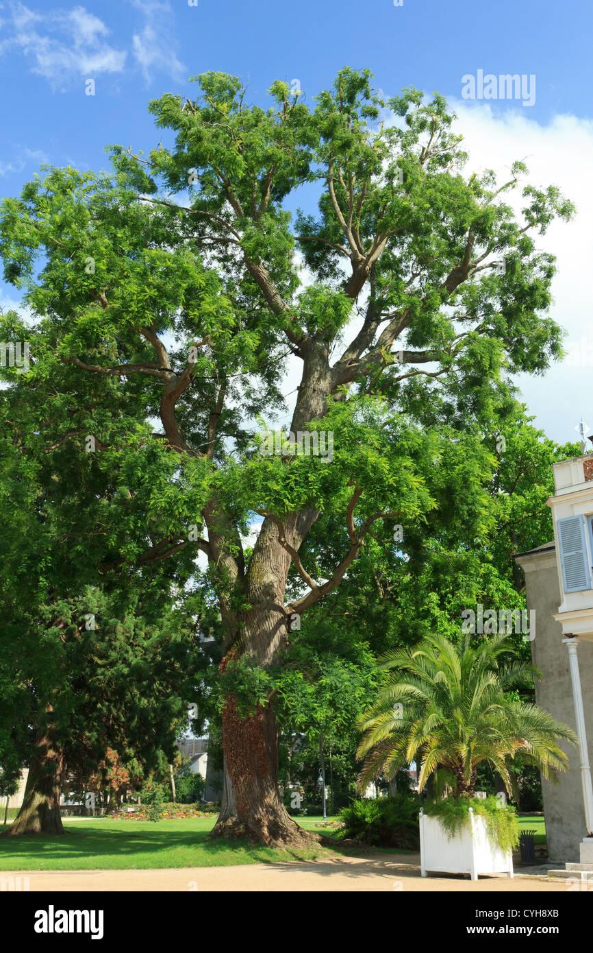 sophora japonica ou arbre pagode japonais, france, châteauneuf-sur