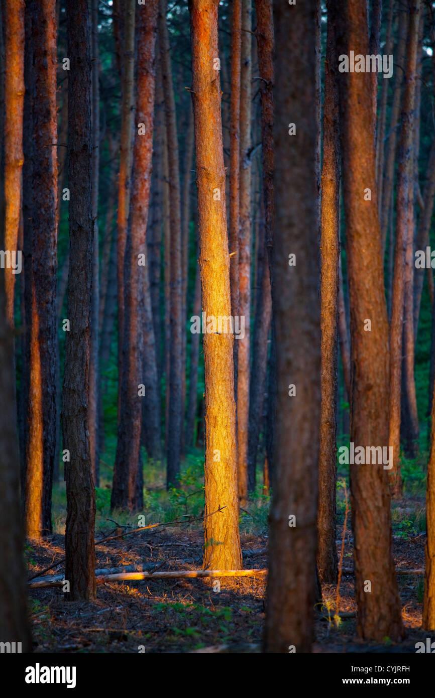 Forêt au coucher du soleil Banque D'Images