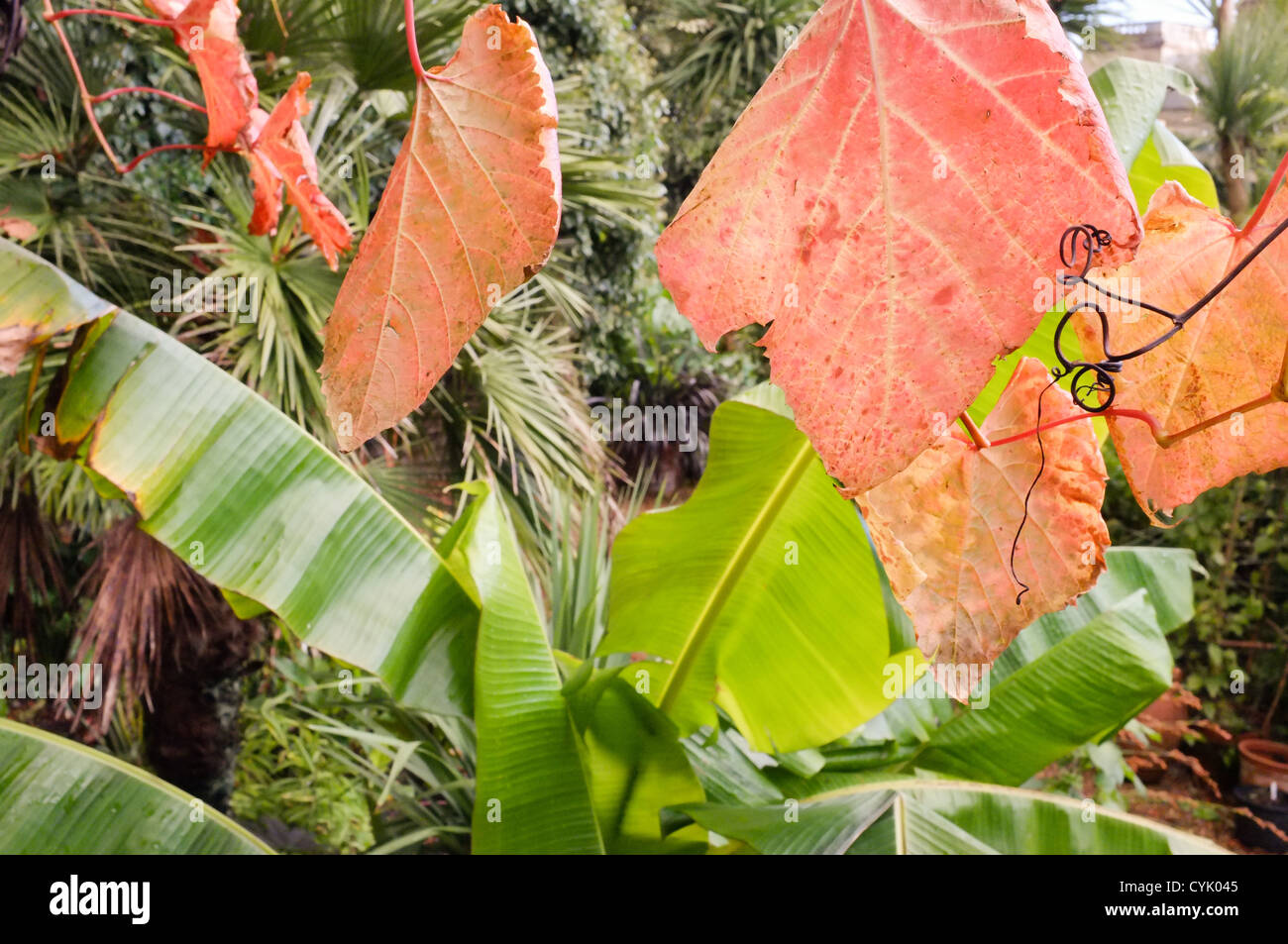 parthenocissus quinquefolia, connu sous le nom de virginia creeper