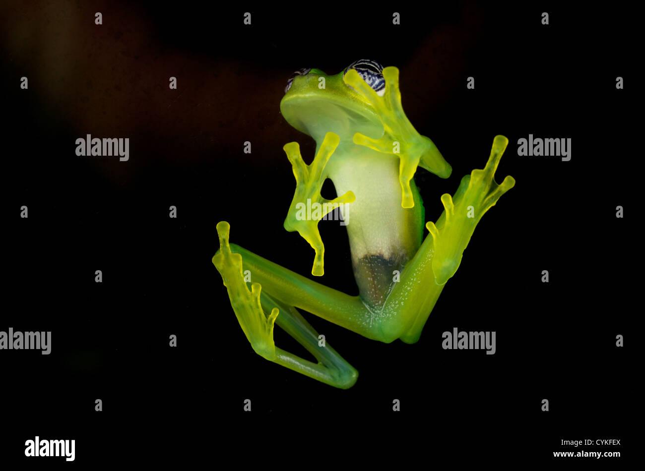 Fleischmann's Glass Frog (Hyalinobatrachium fleischmanni), Costa Rica. Banque D'Images