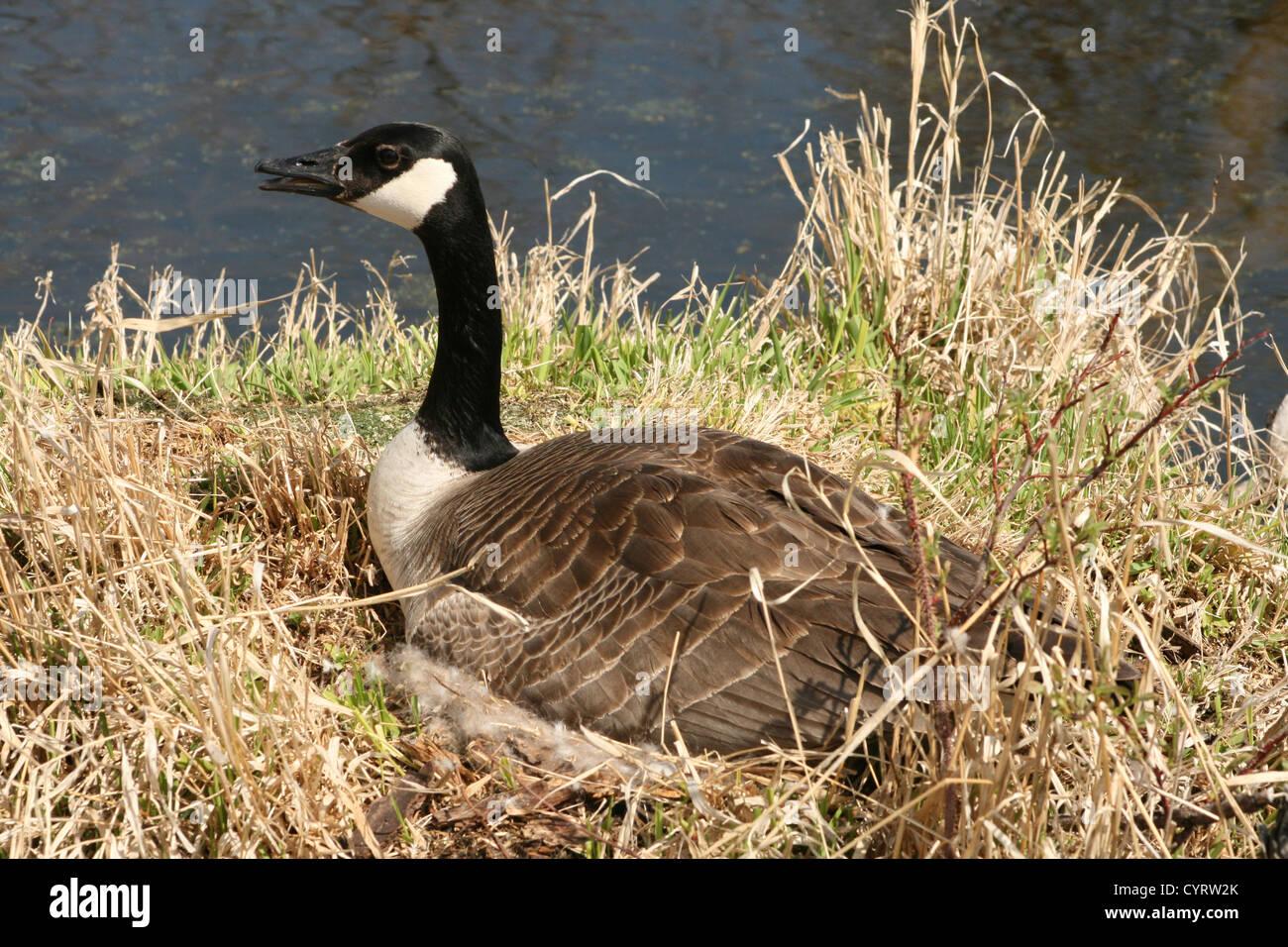 canada goose femme printemps
