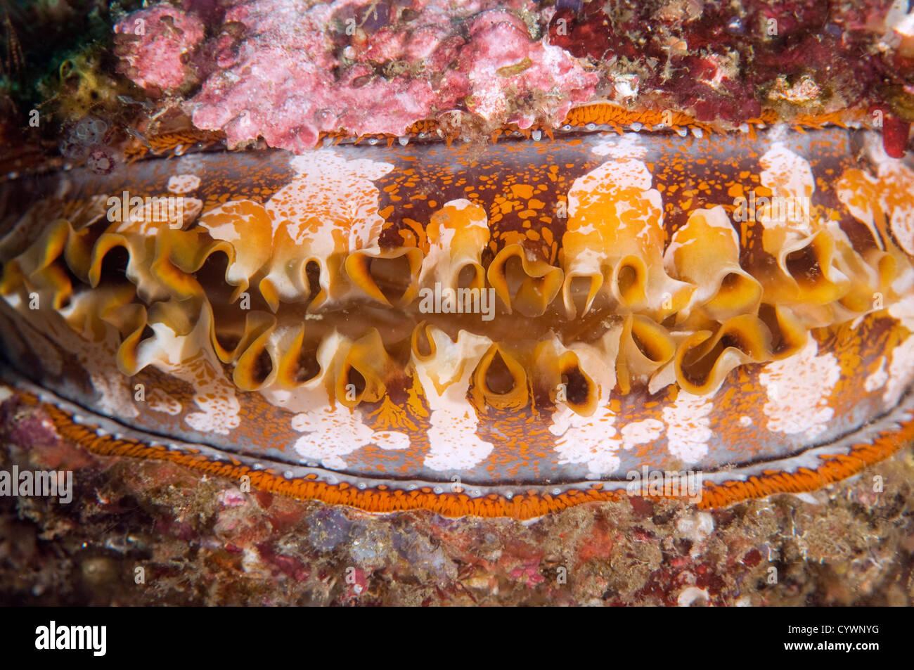 Huître épineuse, Spondylus varius, Komodo en Indonésie Photo Stock