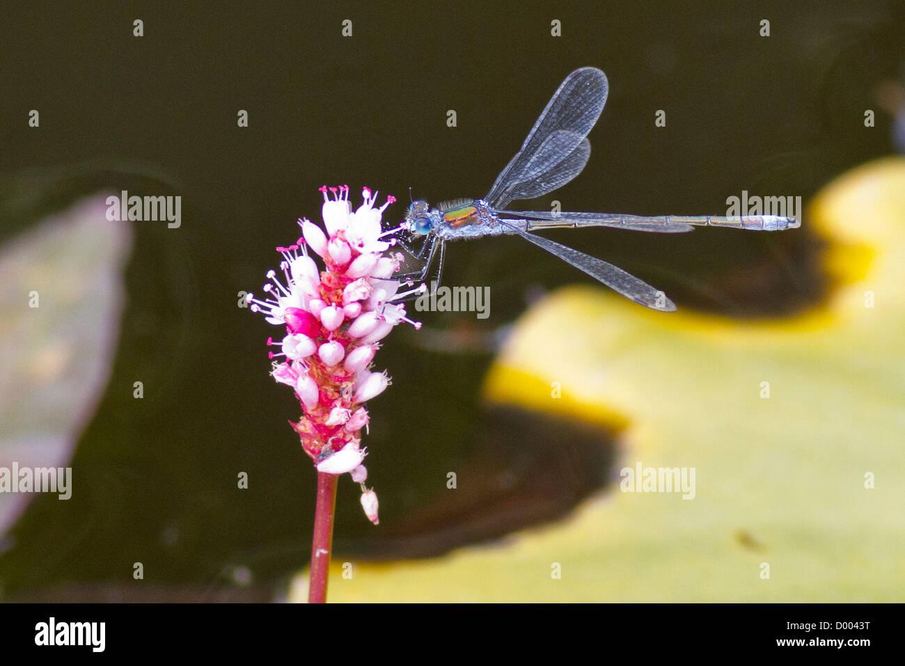 Demoiselle d'Émeraude sur une fleur Banque D'Images