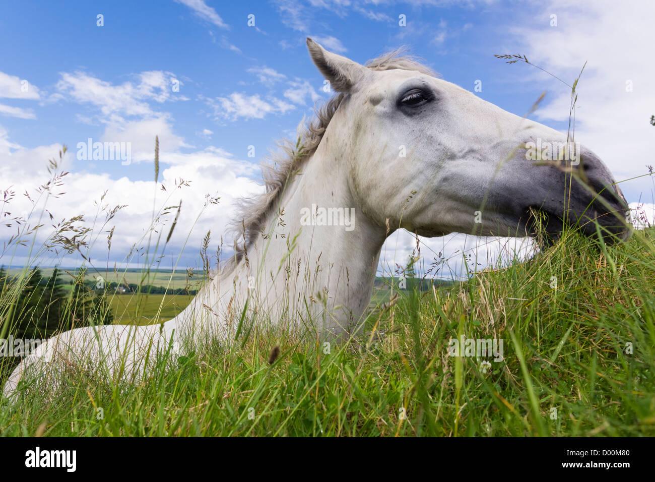 Un cheval de plus en plus d'herbe fraîche sur le dessus du mur d'Hadrien,, Northumberland, England, Photo Stock