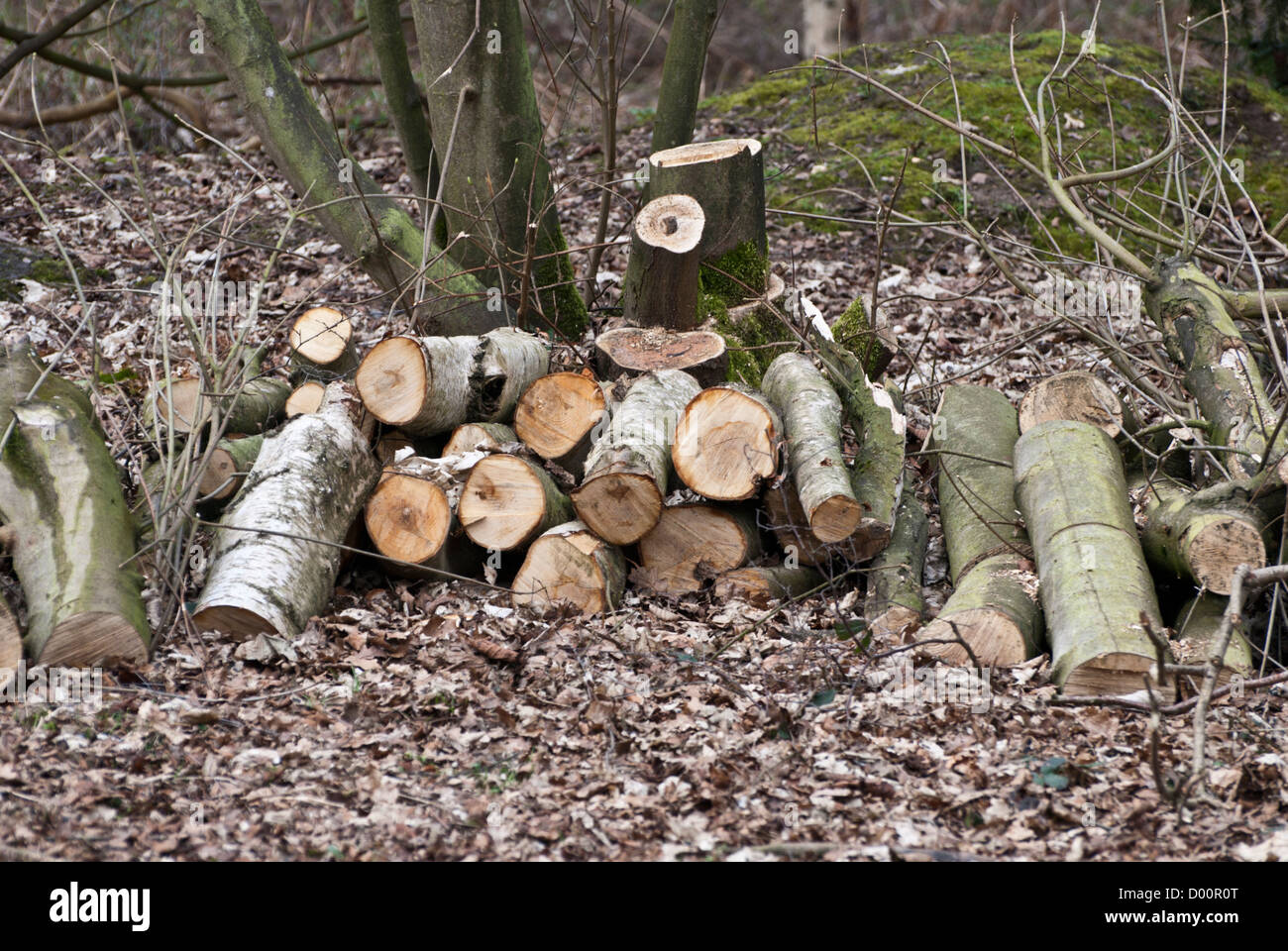 Récemment abattus et couper les arbres en Rufford Country Park, Nottinghamshire, Angleterre, Royaume-Uni. Banque D'Images